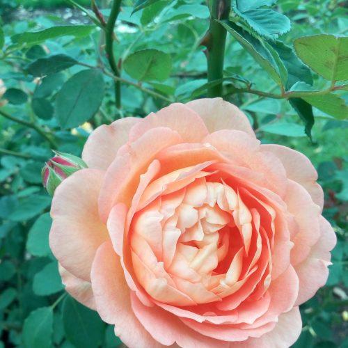 Kvapniosios rožės